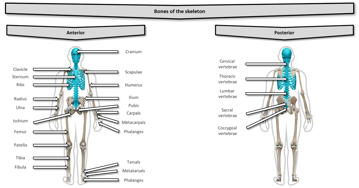 The different bones of the skeleton