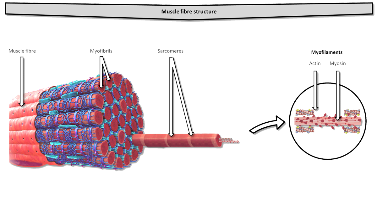 The structure of skeletal muscle fibre