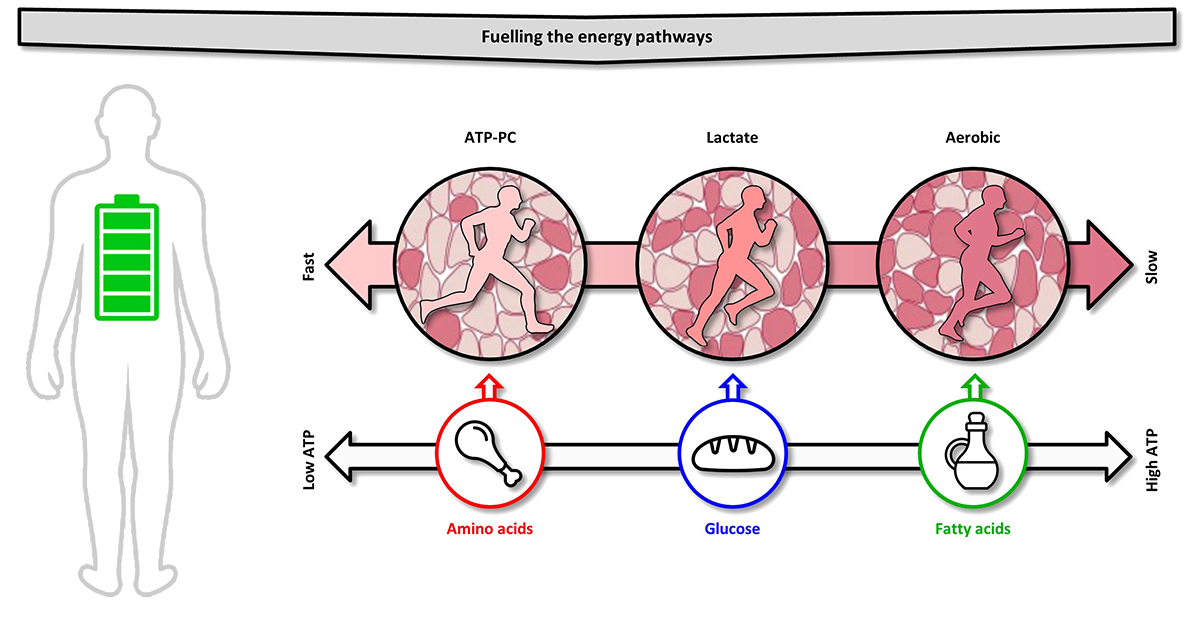 Fuelling ATP resynthesis