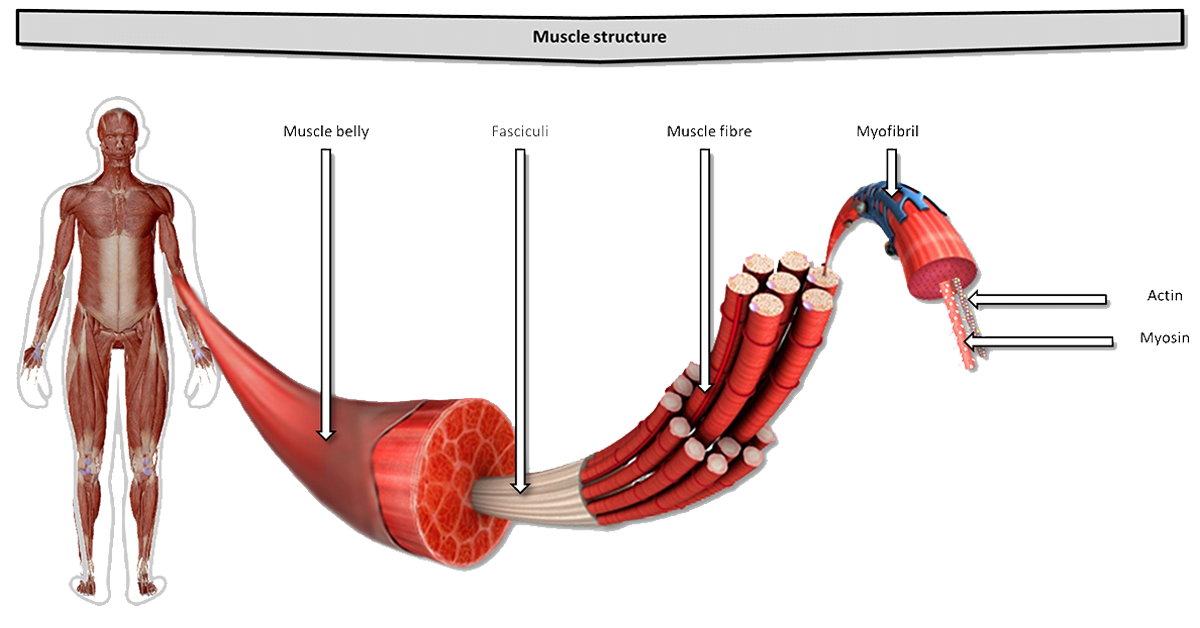 The structure of skeletal muscle