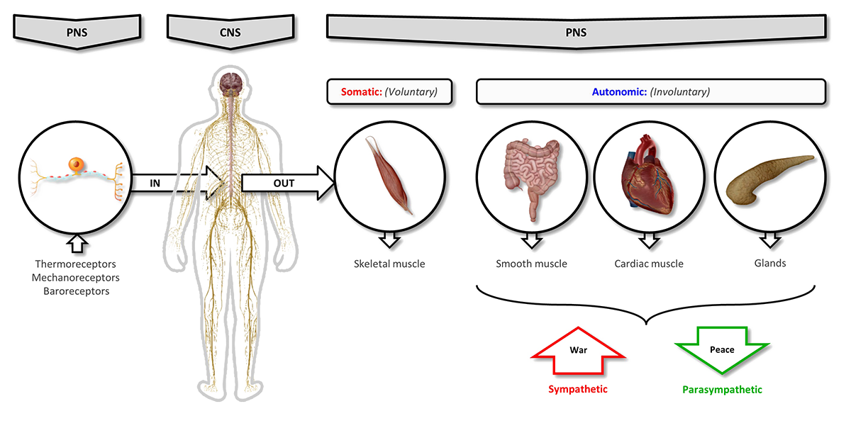 Peripheral and central nervous system