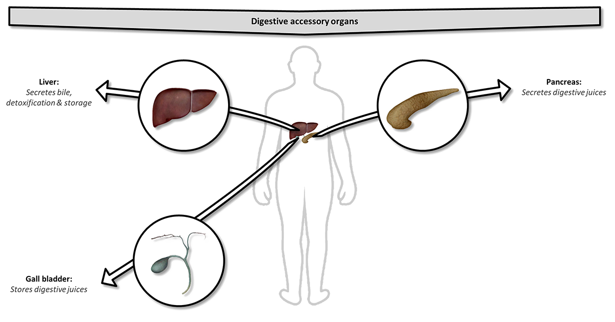 Organs supporting digestion
