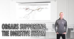 Organs supporting the digestive system
