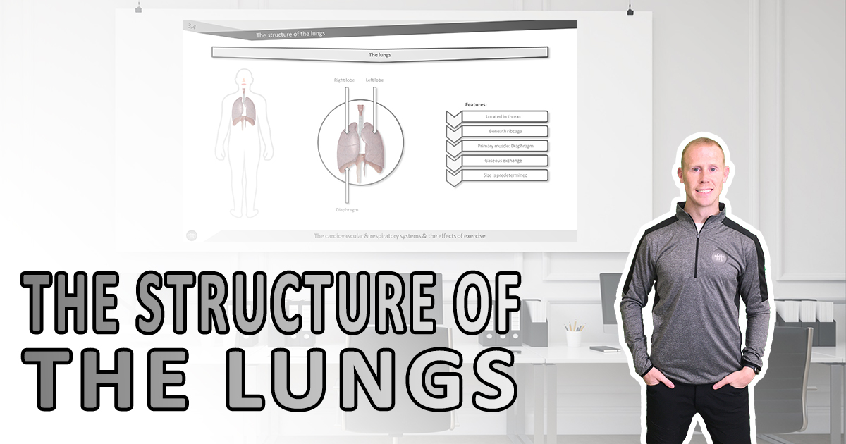 The structure of the lungs